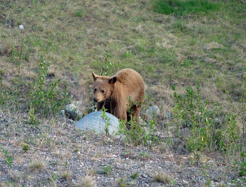 Любознательный медведь детенышей в Британской Колумбии стоковые изображения rf