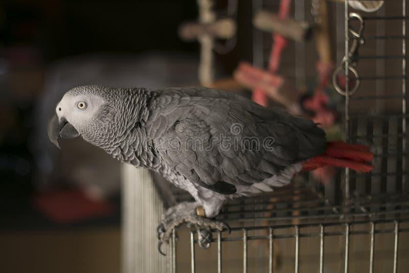 Любознательный попугай африканского серого цвета стоковые фотографии rf
