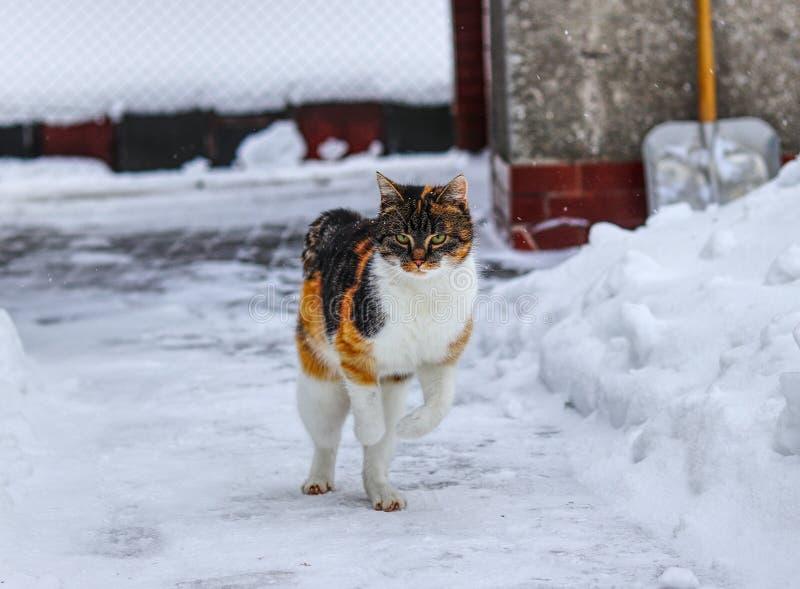 Любопытная домашняя кошка делает небольшие скачки на мостовой : Котенок наслаждается белым снегом Catus кошки на ежедневном осмот стоковая фотография rf