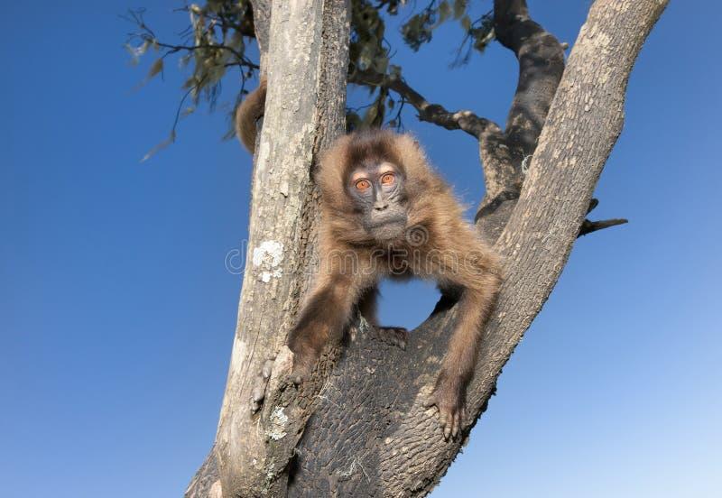 Любопытная обезьяна Gelada младенца сидя в дереве стоковые фотографии rf