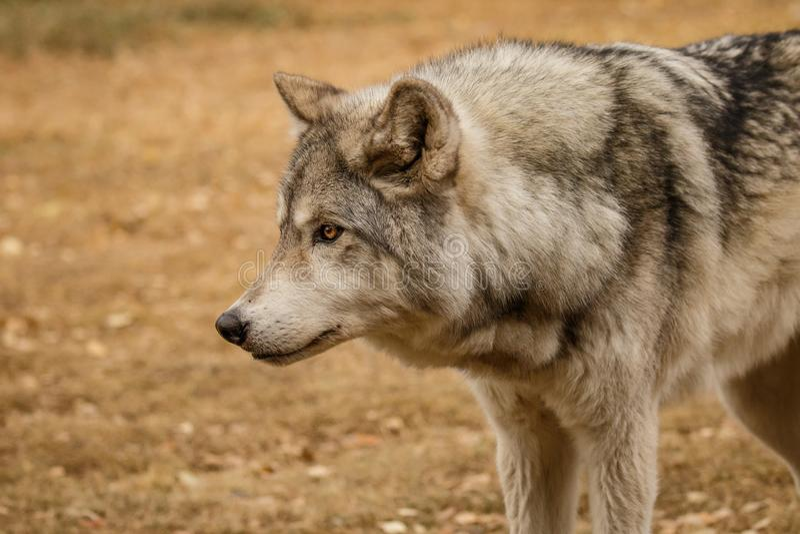 Любопытно смотрящ wolfdog в святилище Yamnuska, Канада, крепко для того чтобы натренировать высокое содержание wolfs, собака силь стоковое фото