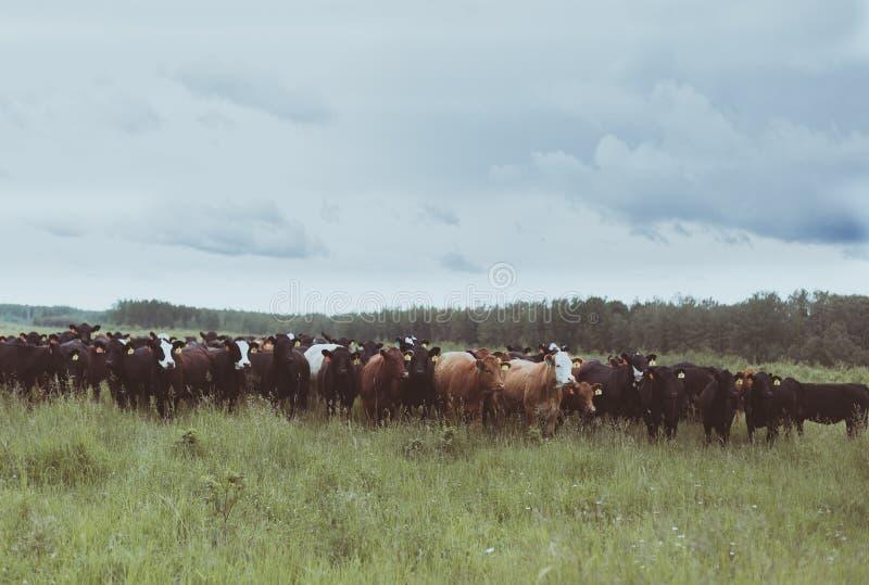 Любопытные скотины стоя в выгоне стоковая фотография rf