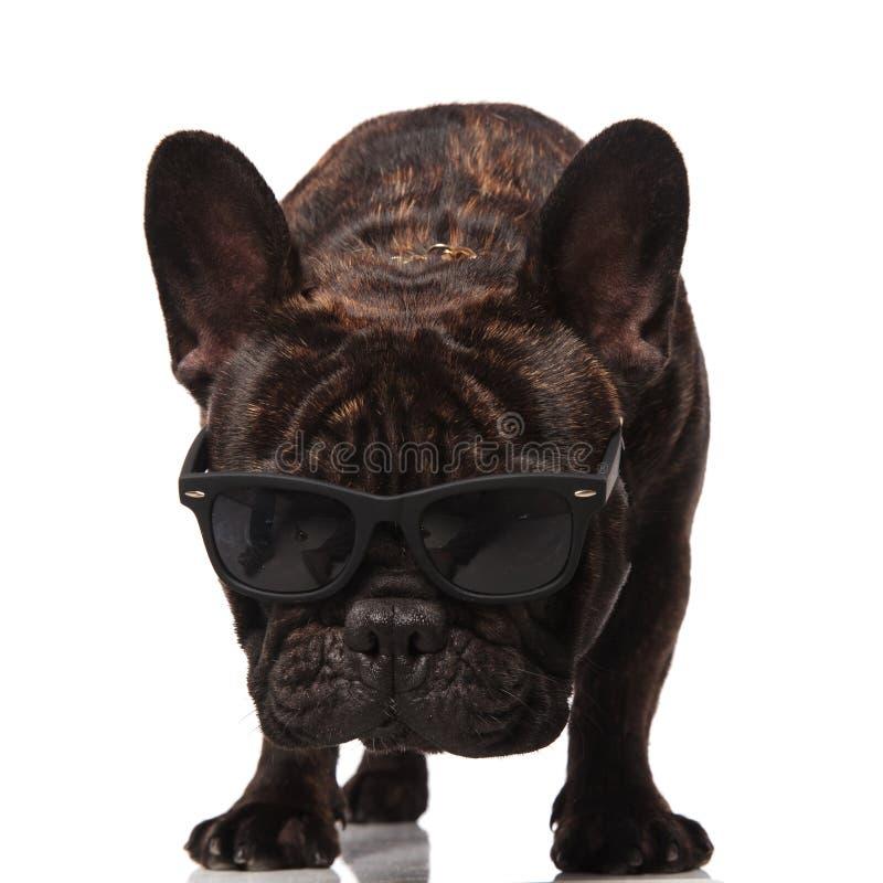 Любопытные солнечные очки французского бульдога нося смотрят вниз стоковое фото rf