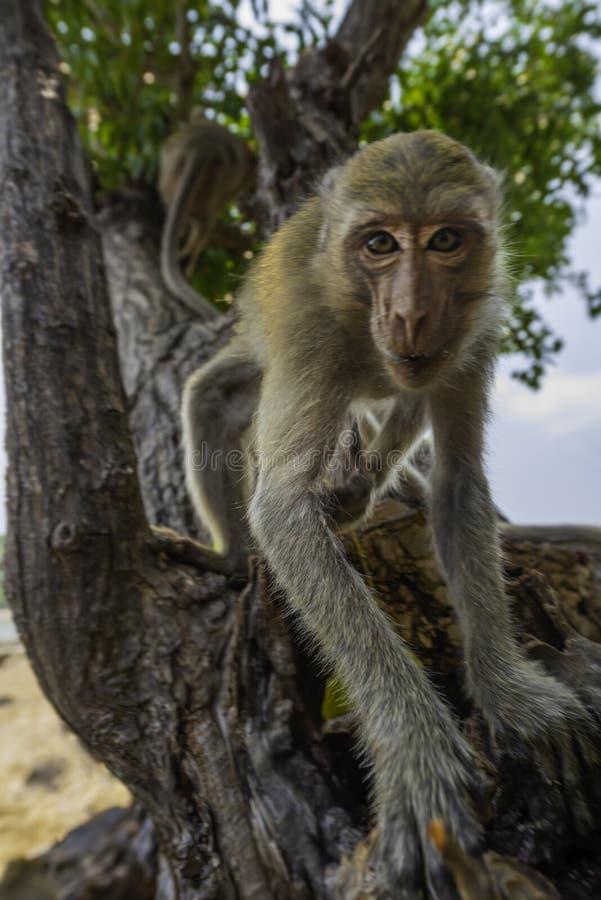 Любопытные fascicularis Macaca макаки Краб-еды обезьяны также знают стоковая фотография