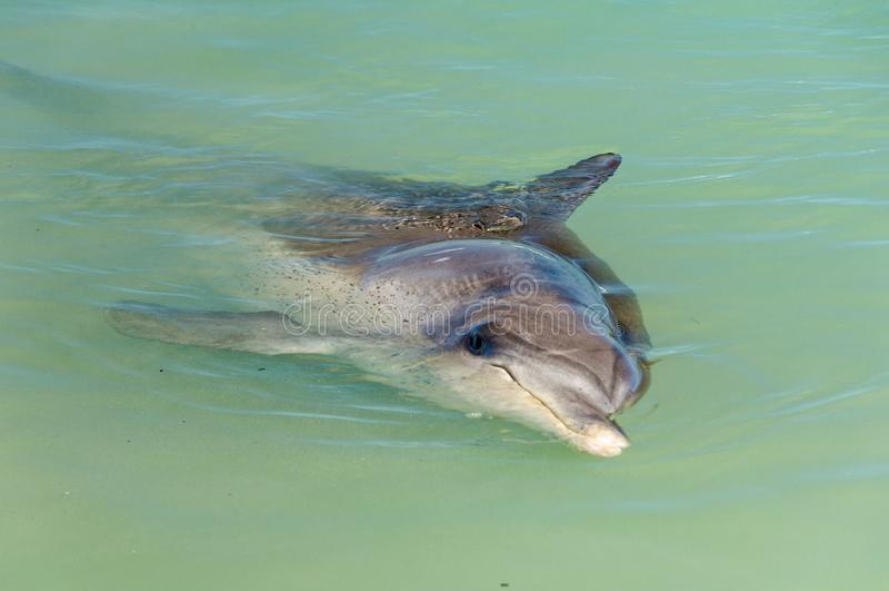 Любопытный дельфин - обезьяна Mia стоковое фото