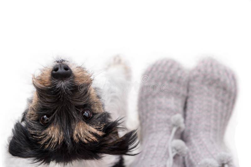 Любопытный маленький doggy терьера Джек Рассела выглядит милым пока стоящ рядом с его владельцем стоковые изображения rf