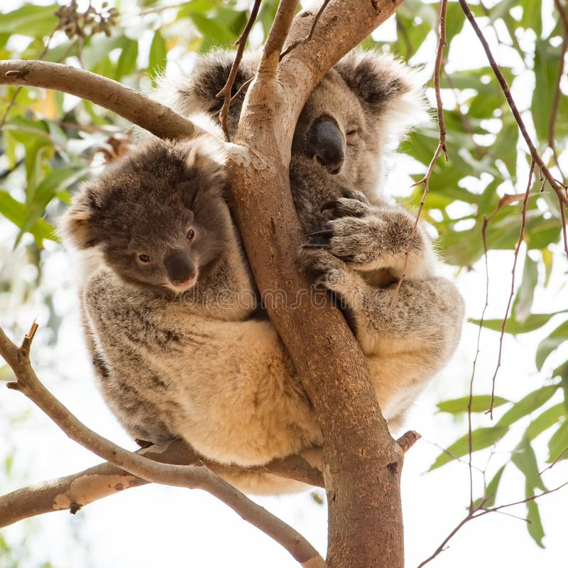 Любопытный младенец коалы с сонной мумией, островом кенгуру, Австралией стоковое изображение rf