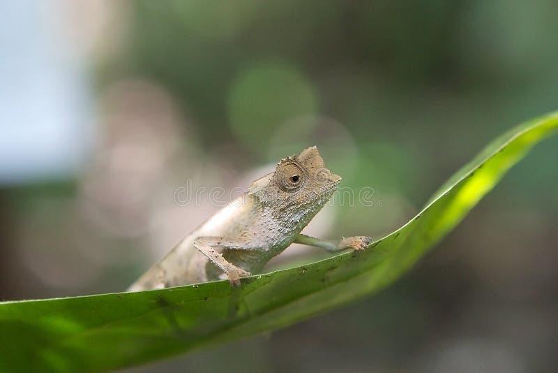 Любопытный хамелеон пигмея (минимумы Brookesia) стоковое изображение rf