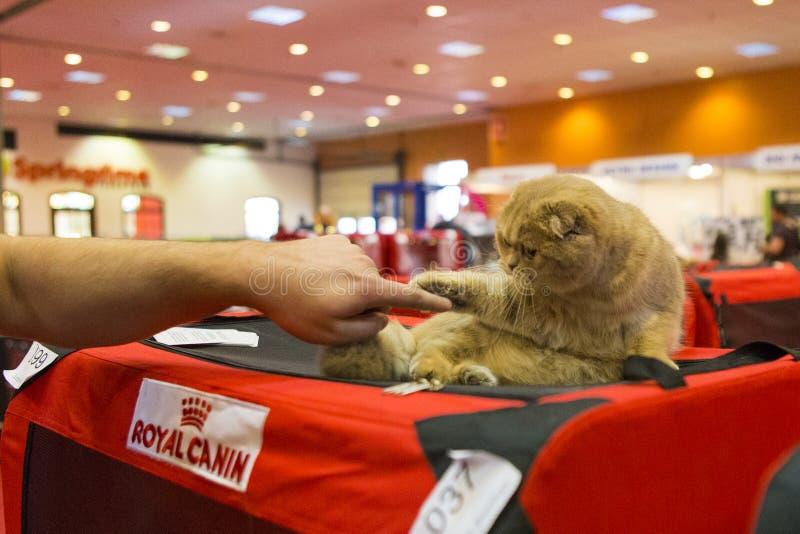 Люди играя с шотландским котом створки стоковое фото rf