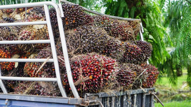 Люди носят пальмовое масло стоковые фотографии rf
