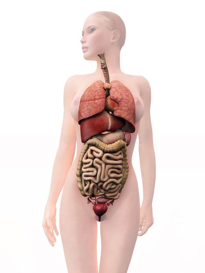 Анатомия органы картинка человека внутренние органы фото с надписями спереди