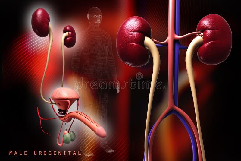 Людская мочевыделительная система иллюстрация штока