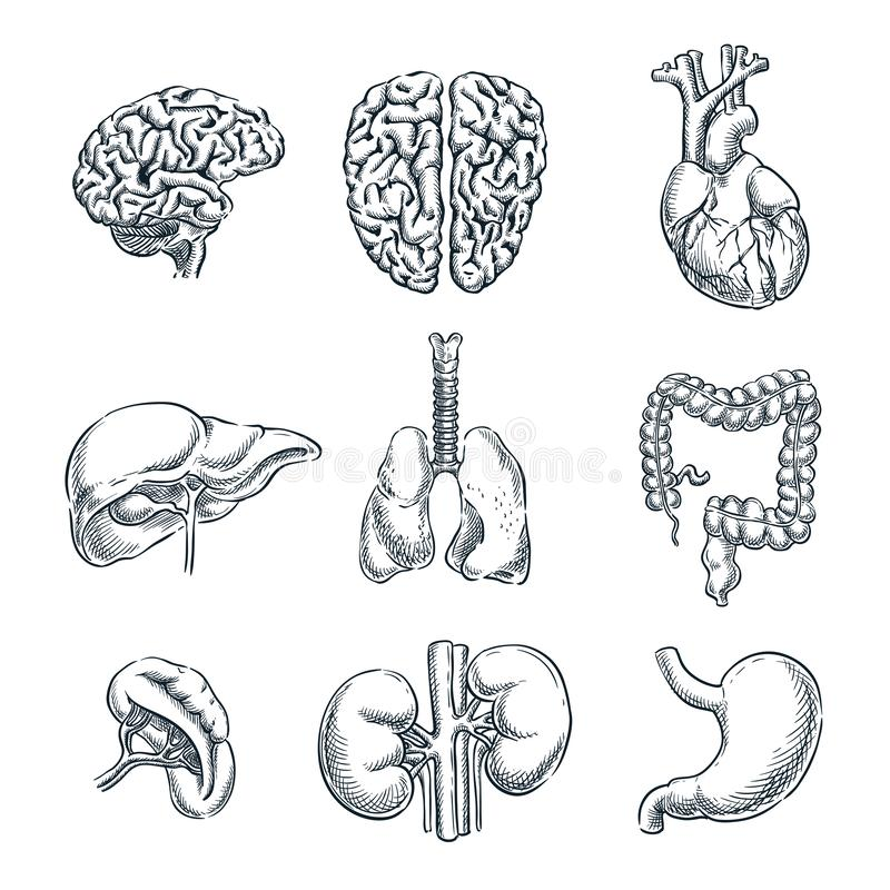людские внутренние органы Иллюстрация вектора изолированная эскизом Набор символов анатомии doodle руки вычерченный бесплатная иллюстрация