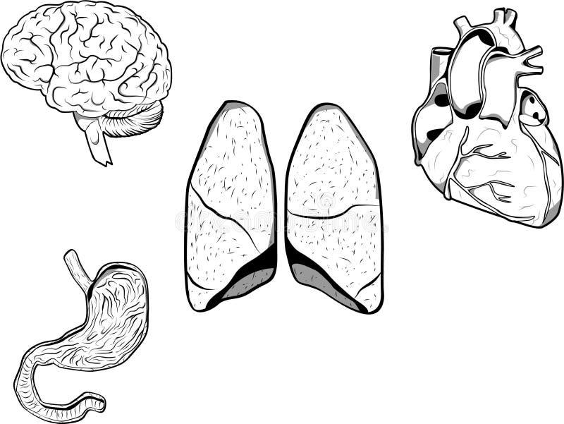 людские органы иллюстрация вектора
