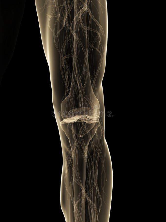 людское колено иллюстрация штока