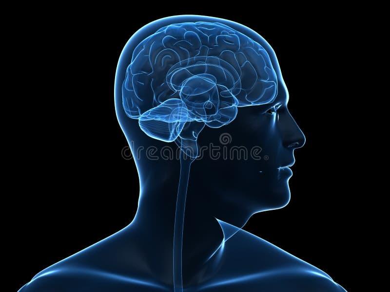 Людской мозг иллюстрация штока