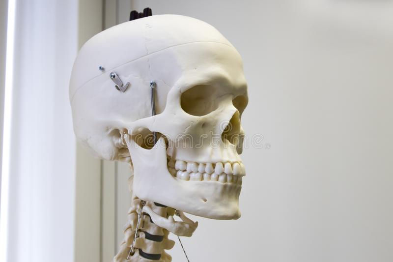 людской пластичный череп стоковое изображение rf