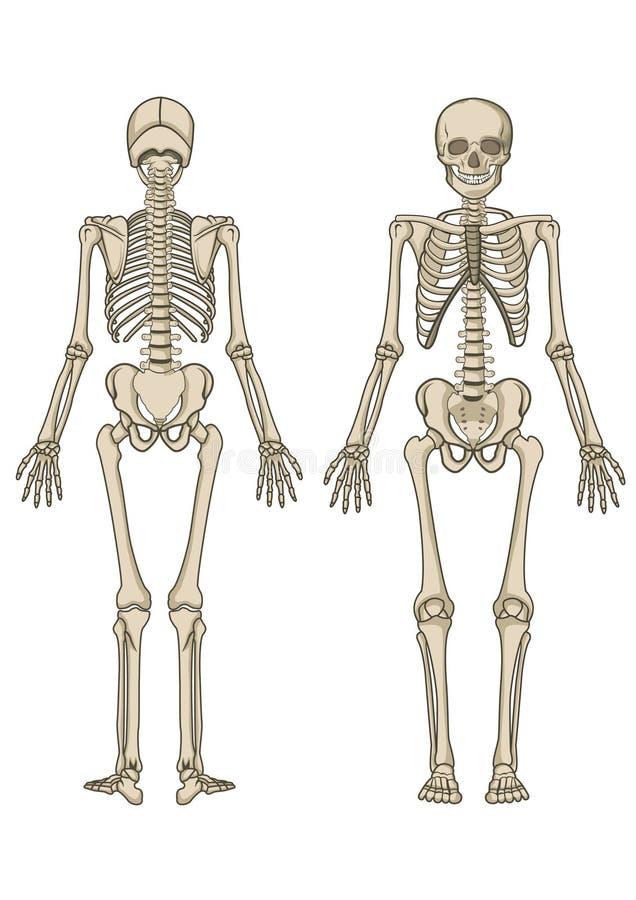 людской скелет иллюстрация штока