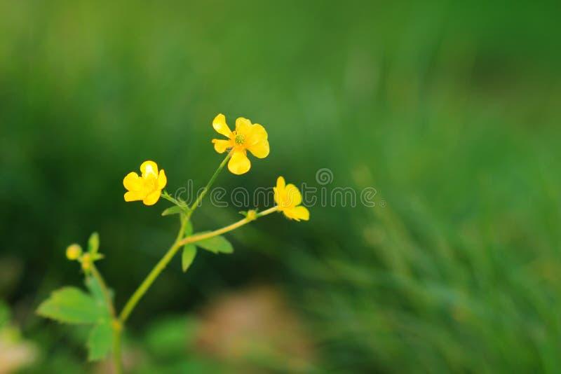 Лютики полностью зацветают весной стоковые изображения rf