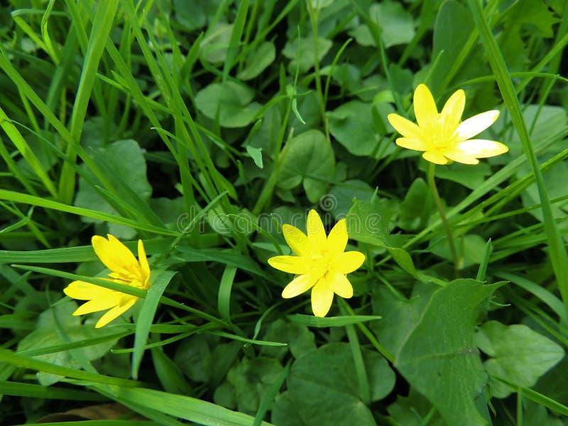 Лютик весны, verna Ficaria стоковая фотография rf