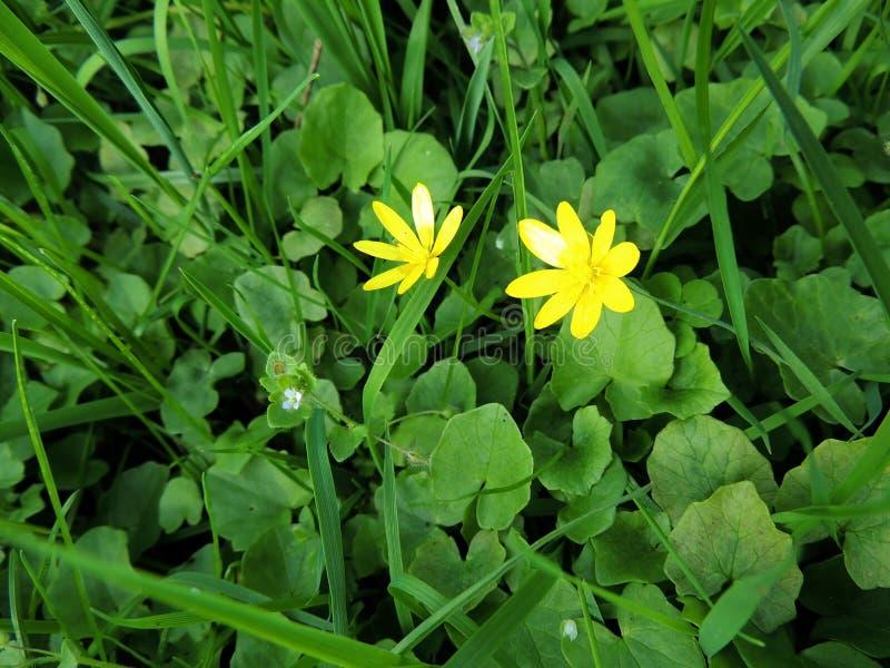 Лютик весны, verna Ficaria стоковые изображения