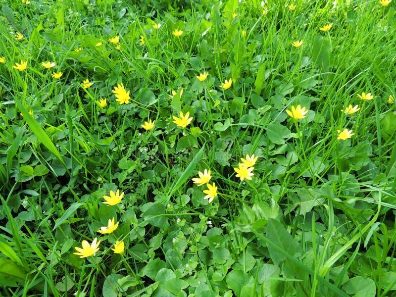 Лютик весны, verna Ficaria стоковые фото