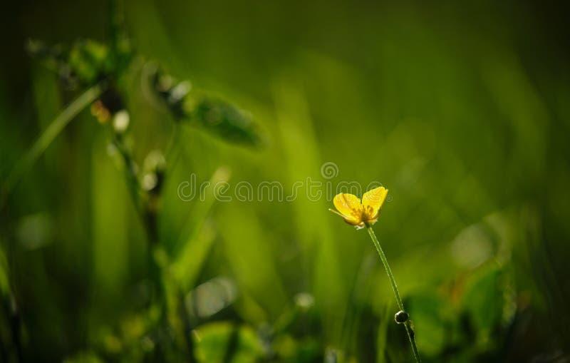 Лютик в солнце стоковое фото rf