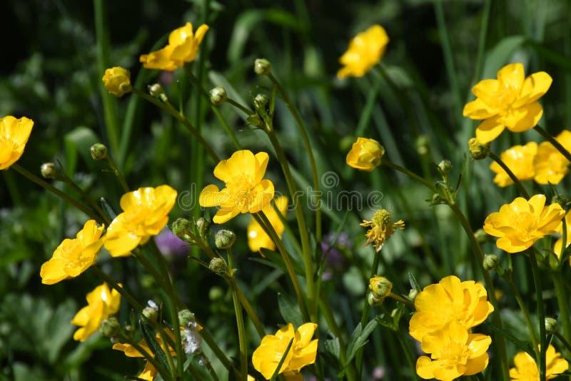 Лютик цветет лютик стоковое изображение
