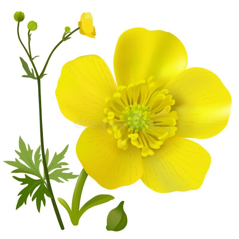 цветок лютик картинка на прозрачном фоне расположенный