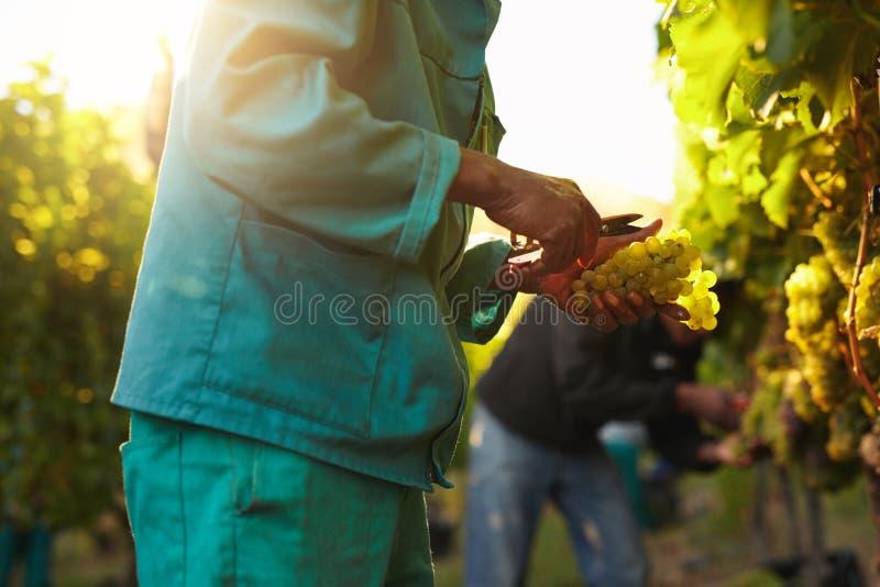 Люди выбирая виноградины во время сбора вина в винограднике стоковая фотография rf
