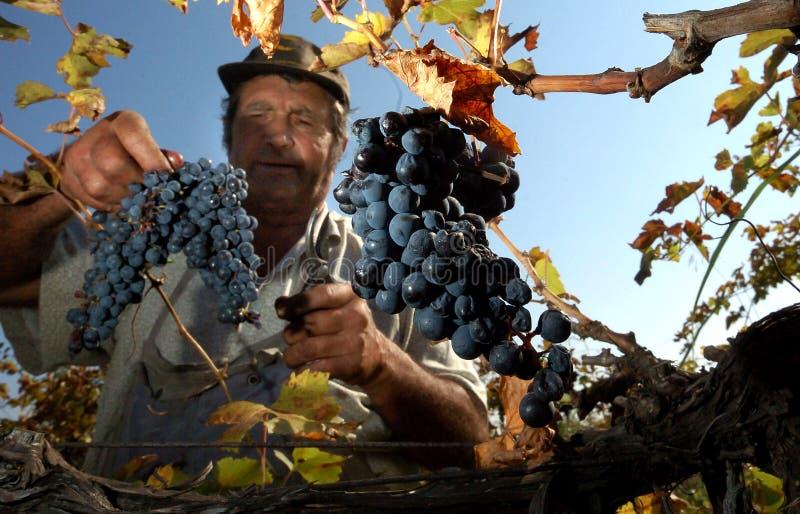 Люди выбирая виноградины в Пловдиве стоковые фотографии rf