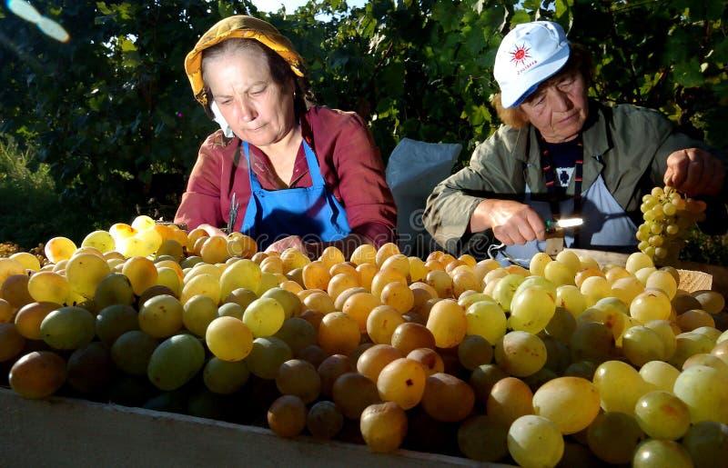 Люди выбирая виноградины в Пловдиве стоковое фото rf