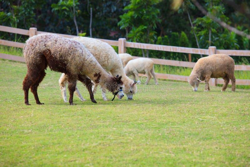 Люди скотин Латинской Америки альпак ламы подавая в gras фермы стоковые фото