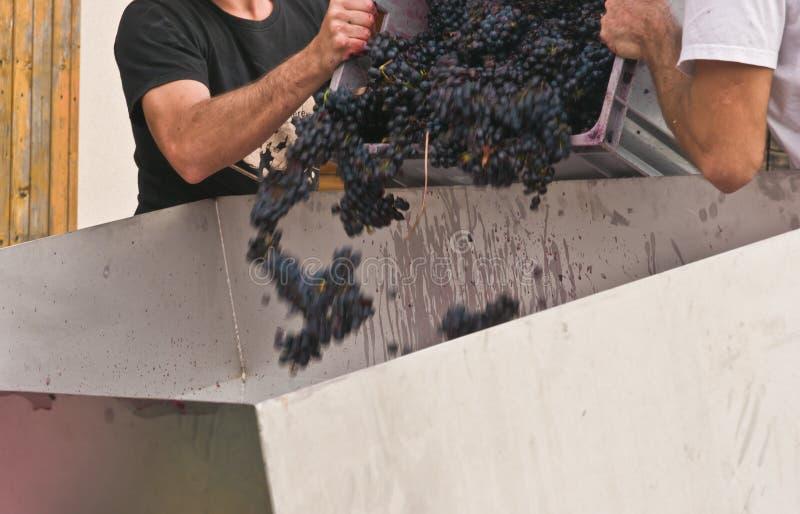 Люди сосредоточенно изучая сжатую виноградину в сборник стоковые фото