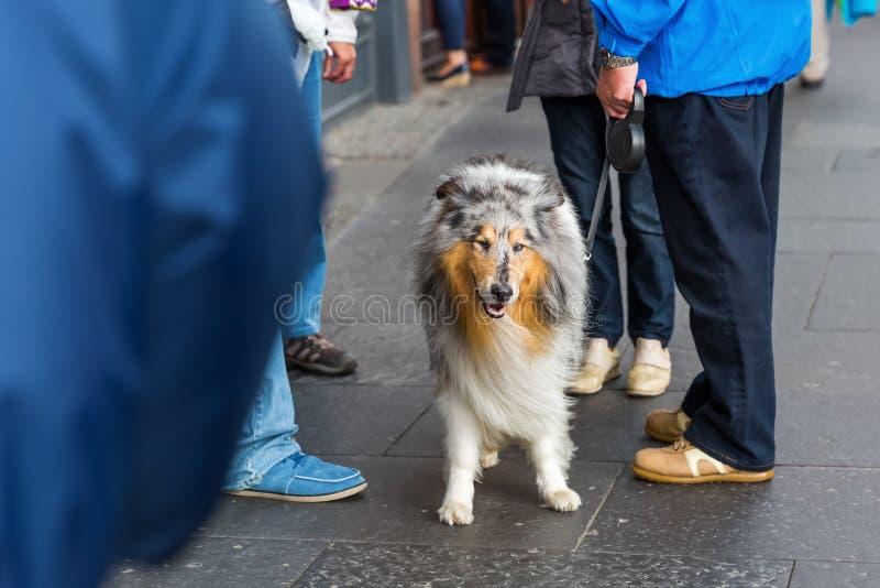 Люди с собакой Коллиы стоковое изображение