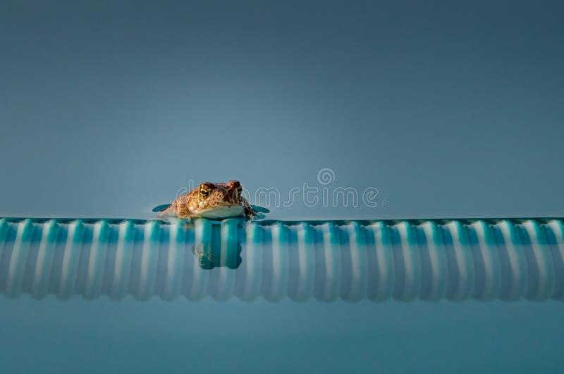 Лягушка бассейна стоковые изображения rf