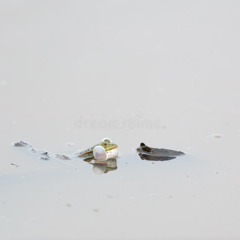 Лягушка бассейна стоковые изображения
