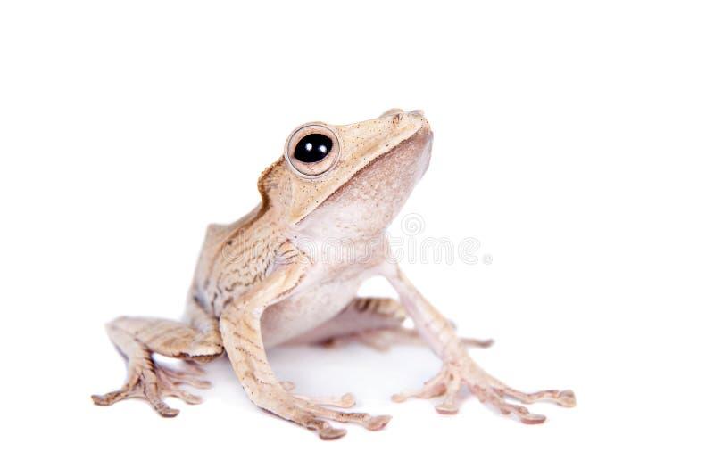 Лягушка Борнео ушастая на белой предпосылке стоковые изображения rf