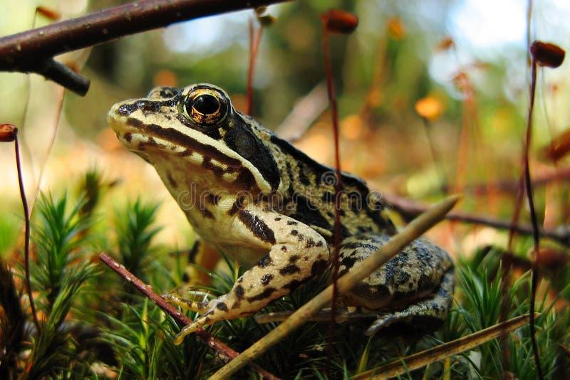 Лягушка болота стоковое изображение