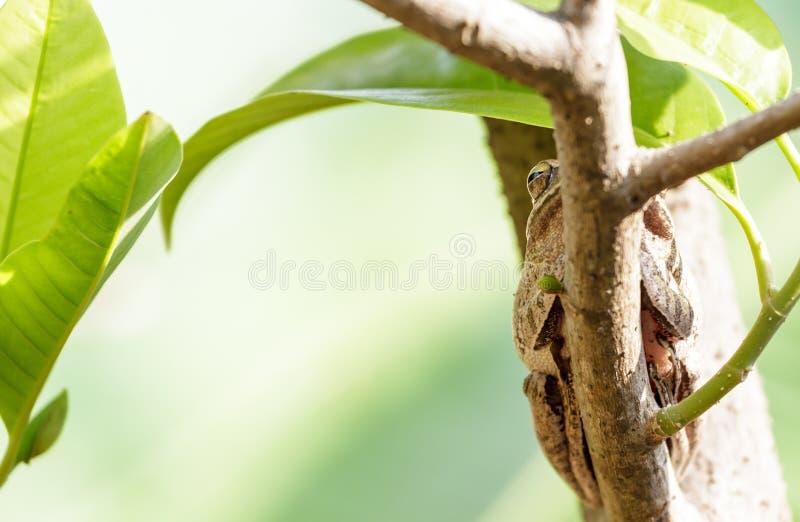 Лягушка Брайна после спячки стоковое фото rf