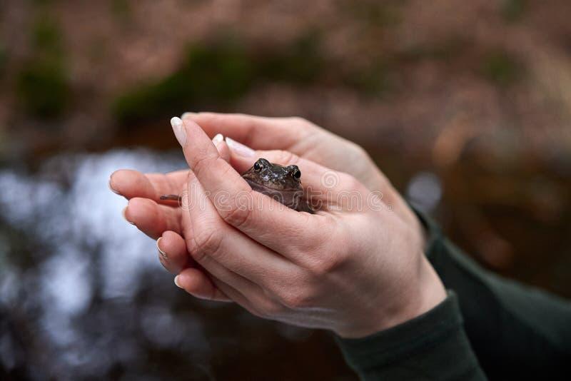 Лягушка Брауна в руках женщины стоковые фото