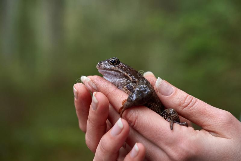 Лягушка Брауна в руках женщины стоковое фото