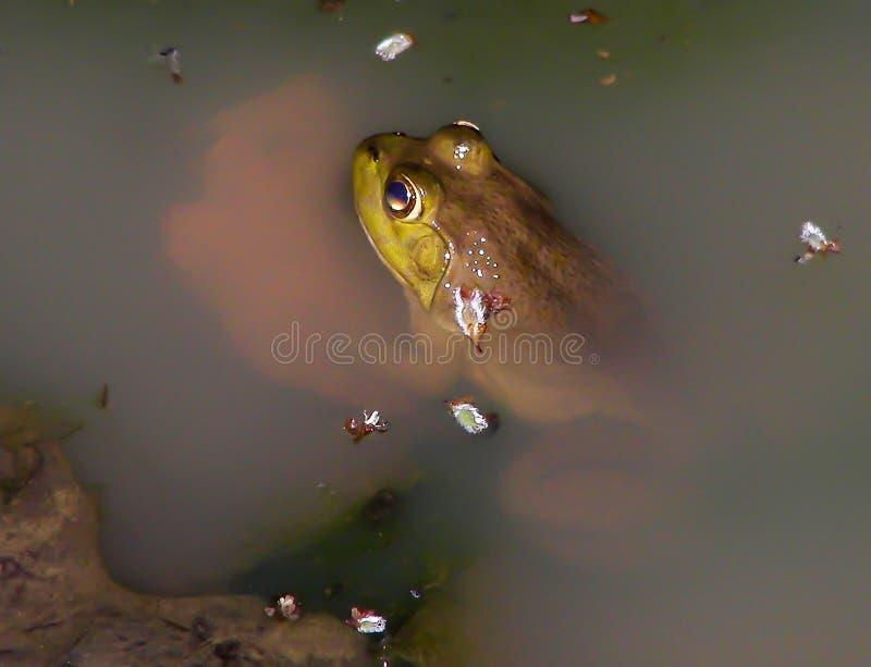 Лягушка-бык в пруде стоковые фото