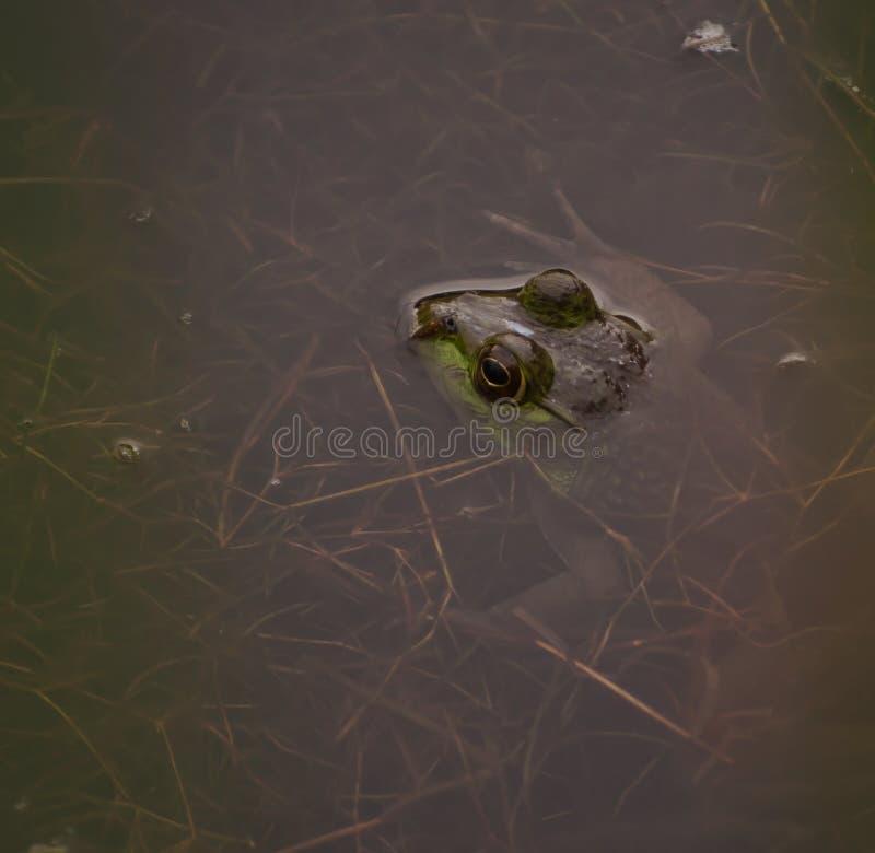 Лягушка-бык в пруде стоковые фотографии rf