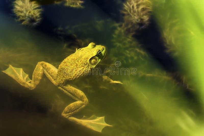 Лягушка-бык в пруде стоковые изображения rf