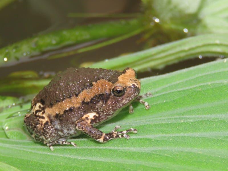 Лягушка-бык на листьях завода стоковые фото