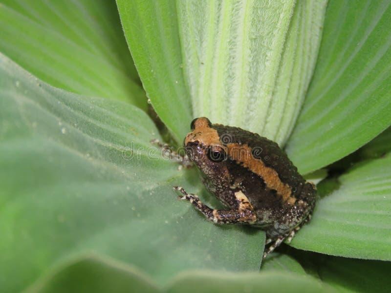 Лягушка-бык на листьях завода стоковое фото