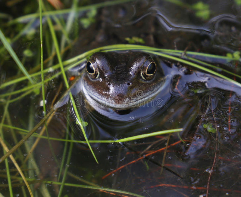 Лягушка весеннего времени стоковые фотографии rf