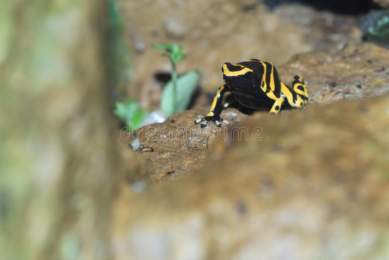 лягушка возглавила желтый цвет отравы стоковое фото