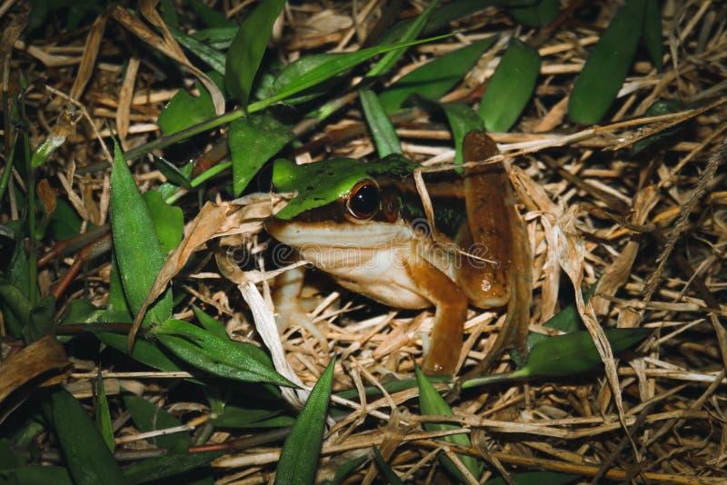 Лягушка в camuflage стоковое фото rf